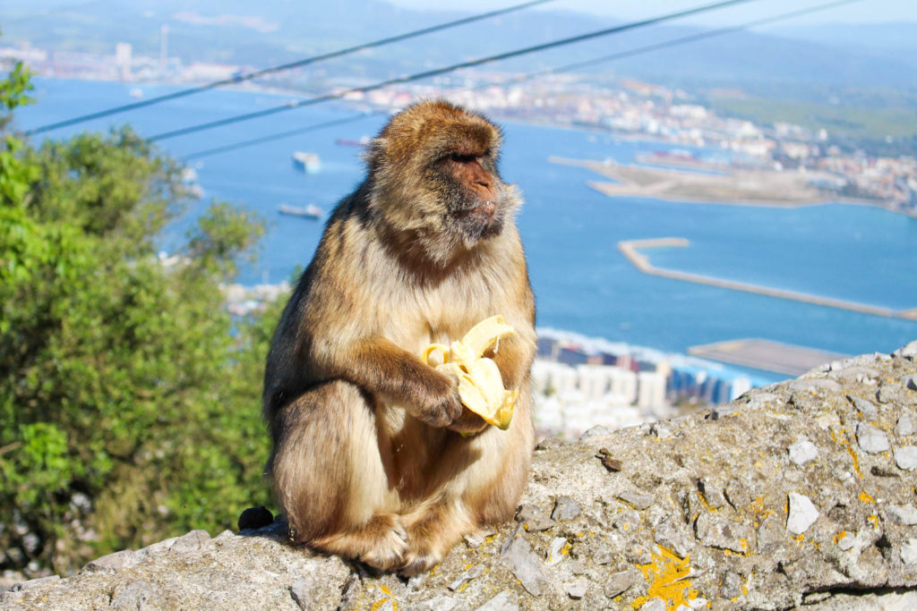 A monkey enjoying a banana while sitting on a rock with a view over the city of Gibraltar.